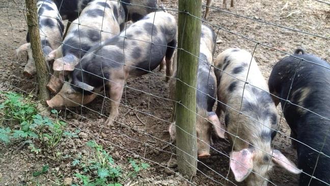 Pigs that kill